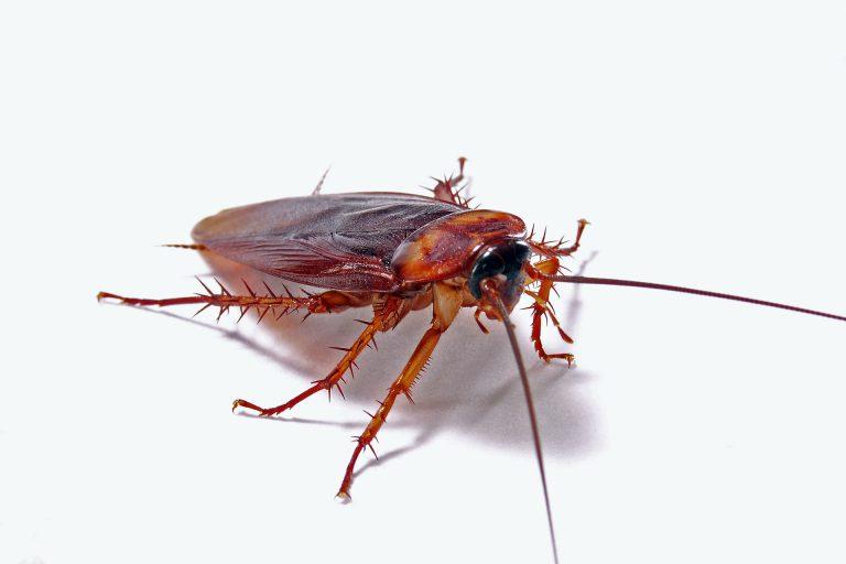 A live roach